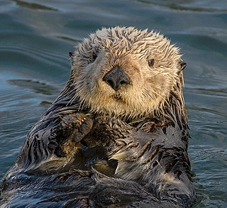 Sea otter species of marine mammal from the northern and eastern coasts of the North Pacific Ocean