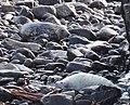 Seals (pup and mum) on Staffa - geograph.org.uk - 270831.jpg