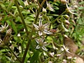 Sedum cepaea inflorescence (07).jpg