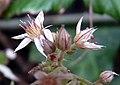 Sedum cepaea inflorescence (08).jpg