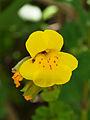 Seep monkeyflower (Mimulus guttatus) (4736580481).jpg