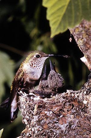 Broad-tailed hummingbird - Female at nest