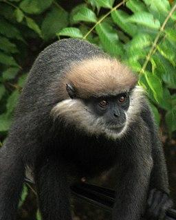 Purple-faced langur Species of Old World monkey