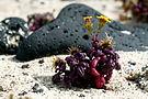 Senecio leucanthemifolius on the beach close to Órzola on Lanzarote, June 2013 (4).jpg