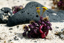 Senecio leucanthemifolius on the beach close to Órzola on Lanzarote, June 2013 (4).jpg
