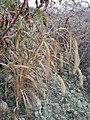 Setaria italica subsp. italica sl9.jpg