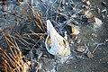 Shankha Bones.jpg