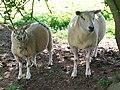 Sheep 1 (3845518603).jpg