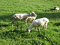 Sheep at Erlenbruck 5321.jpg