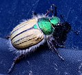 Shining Leaf Chafer (8625446997).jpg