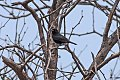 Shiny Cowbird (Molothrus bonariensis) (8077547864).jpg