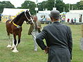 Shire horse judging1.jpg