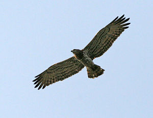 Short-toed snake eagle - In Kawal Wildlife Sanctuary, India