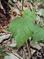 Sida cordifolia 05.JPG