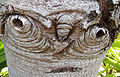 Silver tree Leucadendron argenteum bark details.jpg