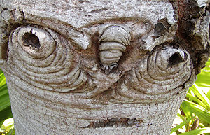 English: Bark details of Silver tree, Leucaden...
