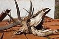 Silves - deer's skull (13421453195).jpg