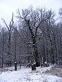 Simkino oak.jpg