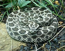 Snake scale - WikiVisually