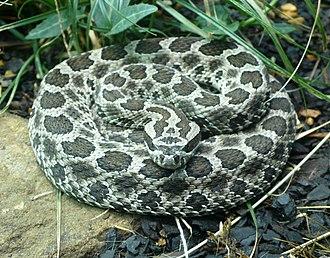 Sistrurus - Image: Sistrurus catenatus