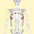 Sixth rib frontal2.png