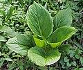 Skunk Cabbage Symplocarpus foetidus Plant.JPG