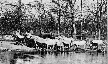 Skupina lipicancev pri napajališčuv gozdu lipiške konjarne.jpg