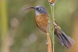 Slender-billed Scimitar Babbler.jpg