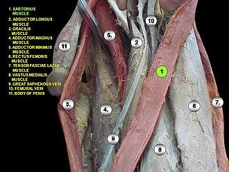 Sartorius muscle - Image: Slide 1rrr