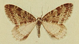 Small Autumnal Carpet Moths of the British Isles.jpg