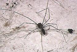 pholcidae wikipedia rh en wikipedia org