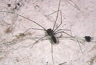 <i>Smeringopus</i> genus of arachnids