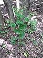 Smyrnium perfoliatum sl10.jpg