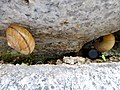 Snails hibernating in gap of stone wall - 2.jpg