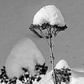 Snow Capped Flowers BW (11689282055).jpg