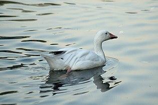 Snow Goose - Anser caerulescens.jpg