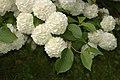 Snowball Viburnum Viburnum plicatum Flowers 2.jpg