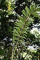 Socratea exorrhiza 6zz.jpg