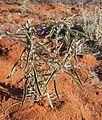 Solanum esuriale.jpg