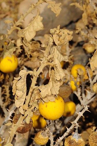 Solanum incanum - Image: Solanum incanum 0