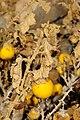 Solanum incanum 0.JPG