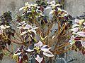 Solenostemon Blumei.JPG