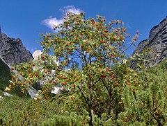 Rowan growing with Mountain Pine on a mountainside in the Italian Alps