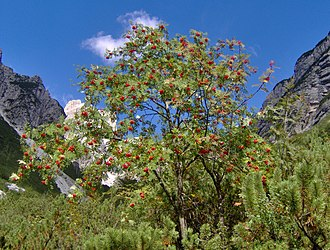 Sorbus aucuparia - Sorbus aucuparia growing with Mountain Pine in the Italian Alps
