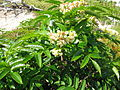Sorbus sambucifolia 1.JPG