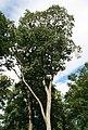 Sorbus torminalis 1.jpg