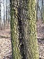 Sorbus torminalis sl4.jpg