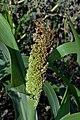 Sorghum bicolor flower (05).jpg