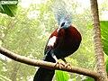 Southern Crowned Pigeon.jpg