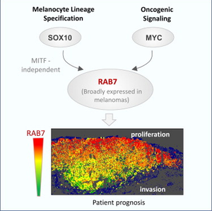 RAB7A - MYC and SOX10 regulate RAB7 in an oncogene- and lineage-dependent manner, respectively